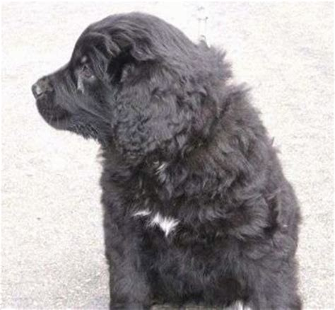 golden retriever newfoundland mix puppies golden newfie breed information and pictures