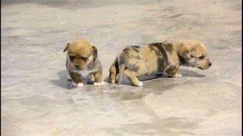 dorgi puppies for sale dorgi puppies for sale