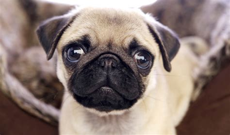 pugs info pug breed information