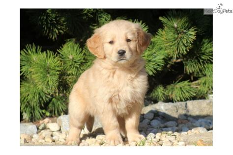 real golden retriever puppies for sale golden retriever puppy for sale near lancaster