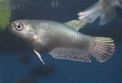 beby bett siamese fighting fish world