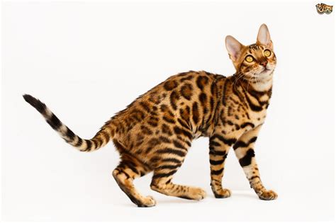 Cat Cat is it true bengal cats shed less than other cats pets4homes