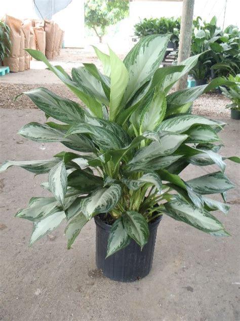 Tanaman Aglonema Moonlight aglaonema triad plant company inc