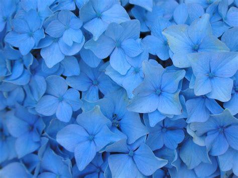 wallpaper blue hydrangea flowers wallpapers blue flowers wallpapers blue