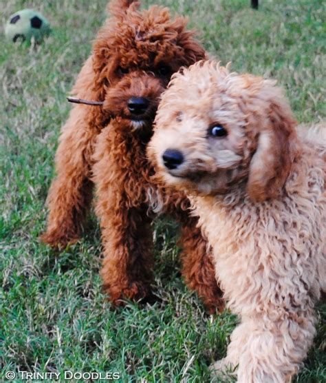 mini labradoodles hawaii 42 best images about puppy antics australian