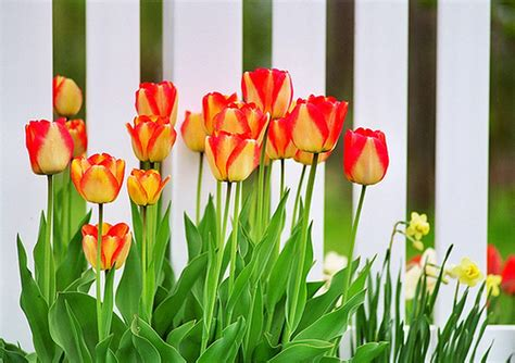Mural Wall Paper orange tulpen bilder orange tulpen bild und foto blumen