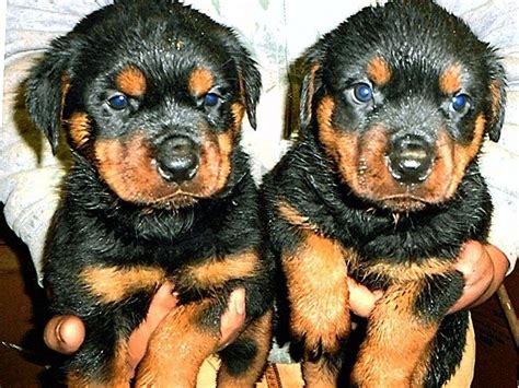 rottweiler rescue ranch windy river ranch rottweilers rottweiler puppies for sale