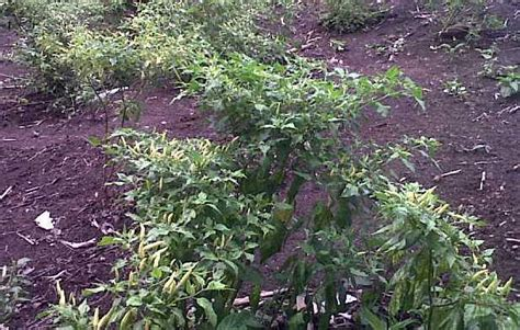 Benih Cabai Bunga Matahari cara menanam cabe rawit di halaman rumah belajar berkebun