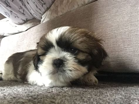 shih tzu puppies for sale 400 2 shih tzu puppies for sale cleethorpes lincolnshire pets4homes