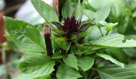 cara membuat lu hias pengusir nyamuk 34 jenis tanaman pengusir nyamuk alami di rumah