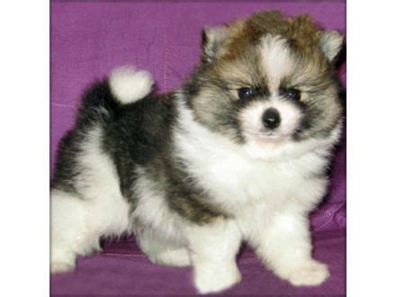 pomeranian husky adopt 25 best ideas about pomeranian for adoption on puppy for adoption teacup