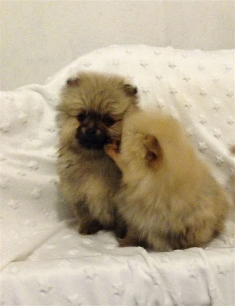teacup pomeranian puppy teacup pomeranian puppies prestwick ayrshire pets4homes
