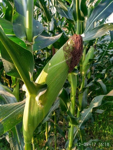 pengertian tujuan  manfaat mulsa organik bagi tanaman