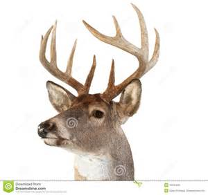 Deer Hunting Christmas Ornaments - whitetail deer head looking left royalty free stock image image 12436446