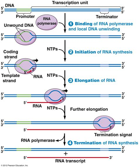 Central Dogma Revised Thinglink Transcription Website Templates