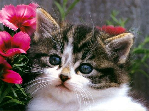 wallpapers for desktop kittens free cute kitten wallpapers wallpaper cave