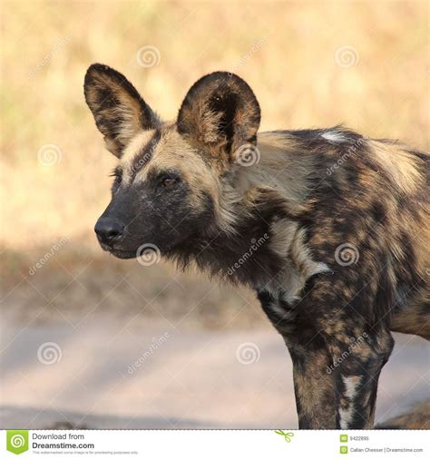 dogs in africa dogs in south africa royalty free stock photo image 9422895