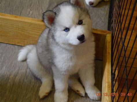 wooly husky puppy snow wooly husky breeders lunenburg vt
