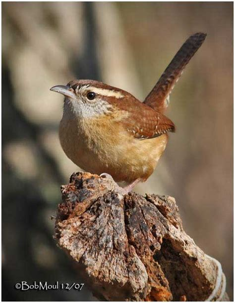 best 28 carolina wren food a to z the usa south