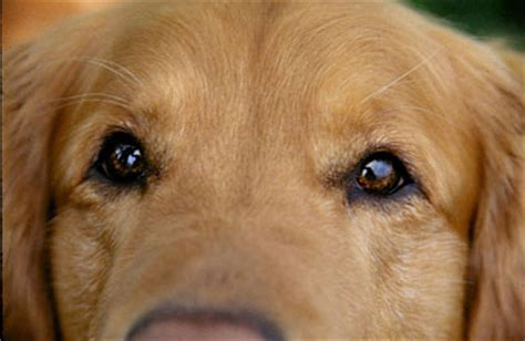 cataracts in golden retrievers look into your golden s golden retriever rescue of southern maryland