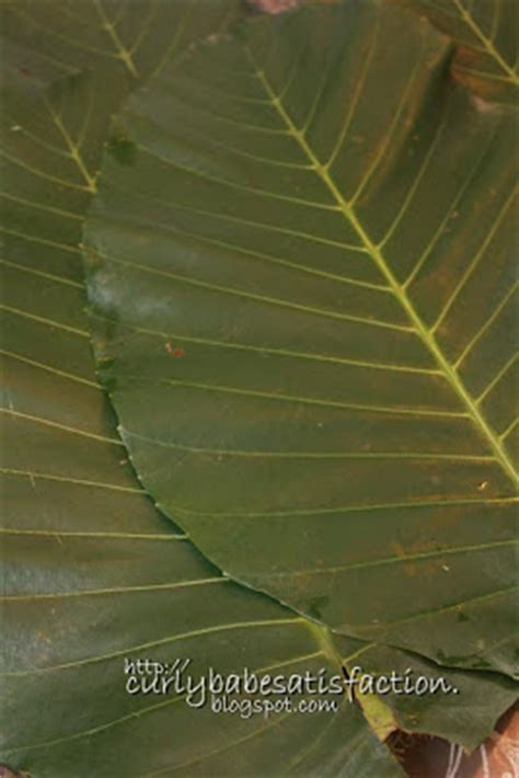Jual Daun Ketapang Kering curlybabe s satisfaction nasi lemak daun ketapang ayam