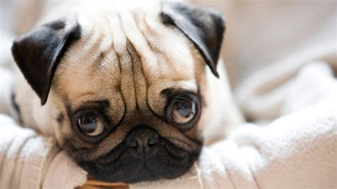 pug things 11 ways pug puppies are the most adorable things alive