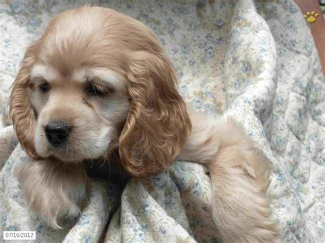 puppies for sale lancaster pa the 25 best spaniel puppies for sale ideas on spaniels for sale cavalier