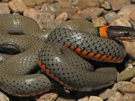 anaconda python snake hd wallpaper wallpaperscom