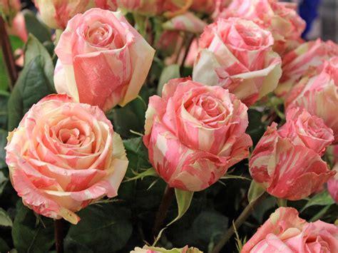 imagenes de rosas varias como podar corretamente as roseiras o formato final