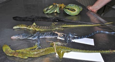 moderne drachen  gefahr asiatische riesenechsen werden ruecksichtslos ausgebeutet