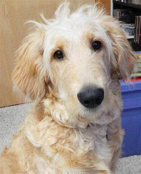 golden retriever poodle mix the 25 best goldendoodle adoption ideas on