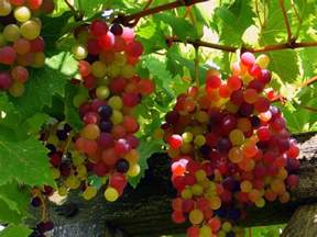 grapes fruit tree wallpapers grapes