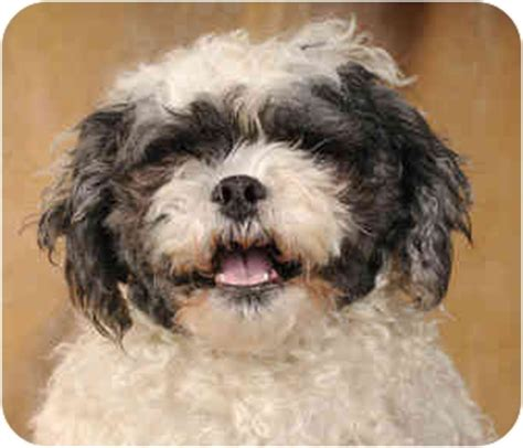shih tzu poodle mix chicago lulu adopted chicago il shih tzu poodle miniature mix