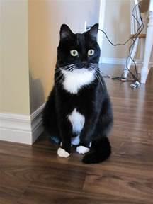 25 best ideas about tuxedo cats on pinterest cats kitty and tuxedo kitten