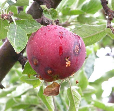 fiore da giardino melo da fiore piante da giardino pianta fiore
