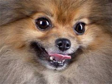pomeranian teeth problems dental care pomeranian information center
