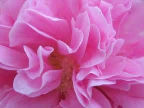 Pictures Of Pink Flowers - pretty pink flower