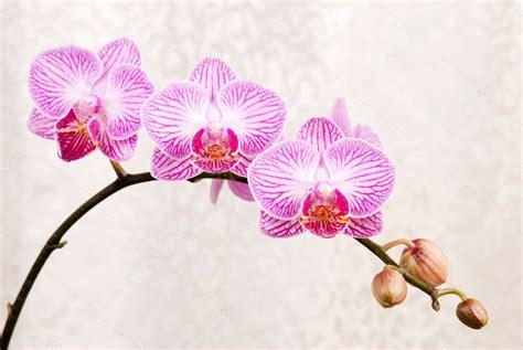 fiore orchidea ipastock orchidea rosa fiore phalaenopsis fiore