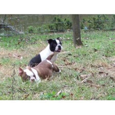 free puppies in mississippi boston terrier breeders in mississippi freedoglistings