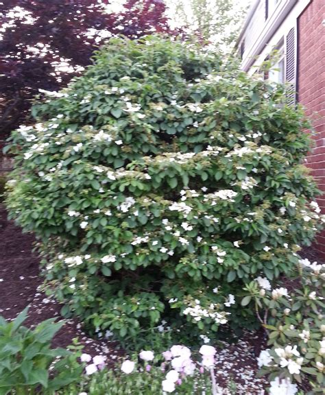 small shrubs with flowers bush for gardening