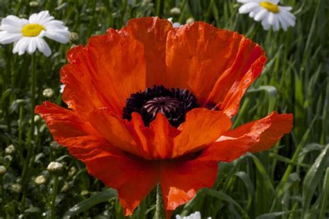 giant poppy sow and so