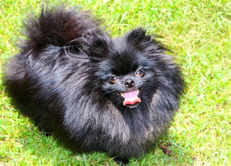 black and pomeranian pomeranian black www pixshark images galleries with a bite