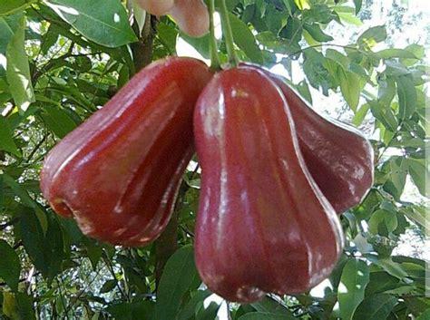 Jual Bibit Jambu Air Thongsamsi jual jambu air citra khas demak di lapak nugroho729 nugroho729