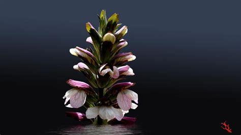 acanto fiore acanto foto immagini piante fiori e funghi fiori