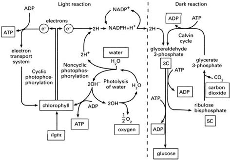 complete the venn diagram about photosynthesis and respiration photosynthesis amelia biochemistry
