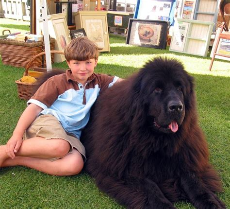 really big dogs 28 best images about large dogs on large breeds newfoundland and