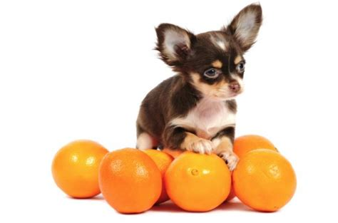 can dogs eat citrus can dogs eat oranges are these fruits really or bad