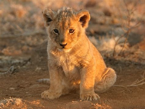 Baby Lions Facts » Home Design 2017