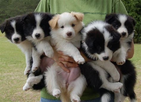 border collie puppy 12 signs you are a border collie person