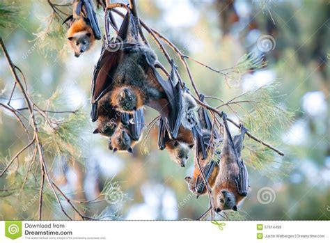 volpi volanti volpi volanti roosting fotografia stock immagine